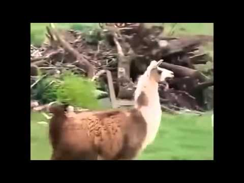 lustige tiere video